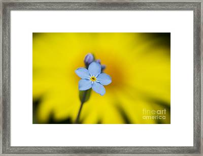 Forget Me Not Flower Framed Print