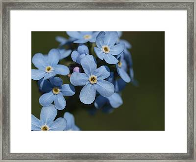 Forget Me Not Framed Print by Jenessa Rahn