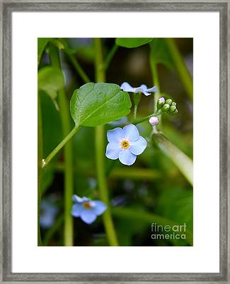 Forget Me Not Framed Print by John Chatterley