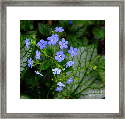 Forget-me-not Framed Print by Marcia Nichols
