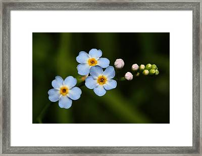 Forget Me Not Framed Print by Mike Farslow