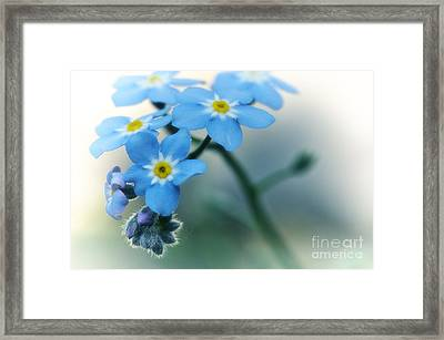 Forget Me Not Framed Print by Simona Ghidini