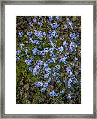 Forget-me-nots Framed Print