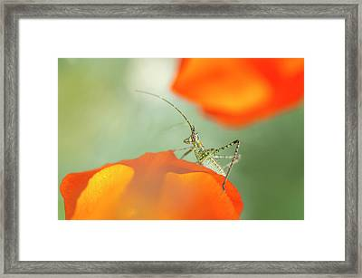 Fork-tailed Bush Katydid Nymph Framed Print