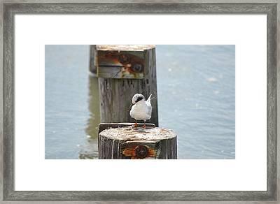 Forster's Tern Framed Print by James Petersen