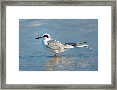 Forster's Tern Framed Print by Rich Leighton