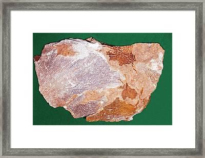 Fossil Bryozoans II Framed Print by Dirk Wiersma