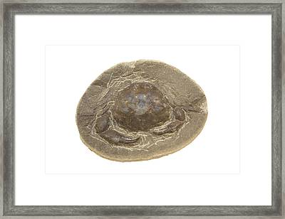 Fossil Crab (zanthopsis Vulgaris) Framed Print by Science Stock Photography