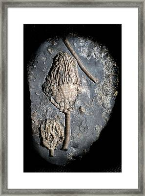 Fossil Crinoid Framed Print by Sinclair Stammers