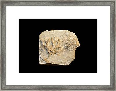 Fossil Crinoids Framed Print by Science Stock Photography