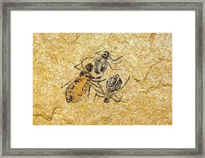Fossil Dragonfly Larvae (libellula Doris) Framed Print by Science Stock Photography