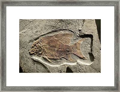 Fossil Fish Framed Print by Chris Hellier