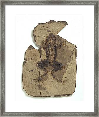 Fossil Frog Framed Print by Science Photo Library