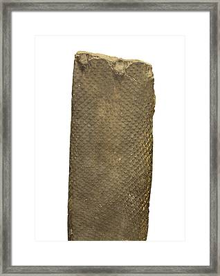 Fossil Lycopod Trunk Framed Print by Science Stock Photography