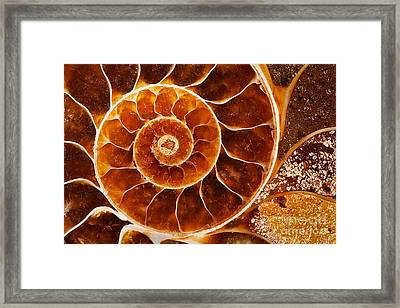 Fossil Nautilus Framed Print