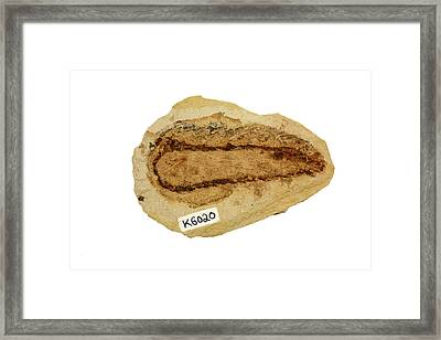 Fossil Pine Cone Section (pinus) Framed Print by Science Stock Photography