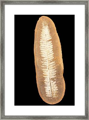 Fossil Seed Fern Leaf (neuropteris) Framed Print by Science Stock Photography