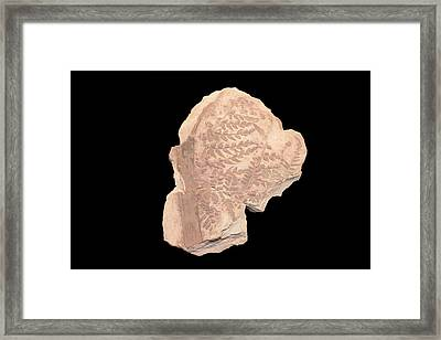 Fossil Seed Fern Framed Print by Science Stock Photography