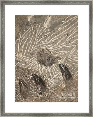 Fossil Shark Teeth Framed Print by Artist and Photographer Laura Wrede