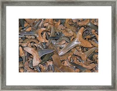 Fossil Shark Teeth Framed Print by Sinclair Stammers/science Photo Library