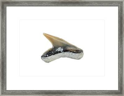 Fossil Shark Tooth Framed Print by Geoff Kidd