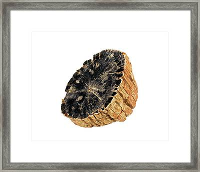 Fossil Sycamore Log Section (plantanus) Framed Print by Science Stock Photography
