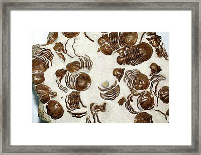 Fossil Trilobites Xenosaphus Devexus Framed Print by Dirk Wiersma