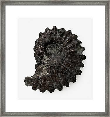 Fossilised Ammonite Shell Framed Print by Dorling Kindersley/uig