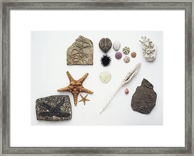 Fossilised And Modern Echinoderms Framed Print by Dorling Kindersley/uig