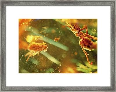 Fossilised Flea In Amber Framed Print by K. H. Kjeldsen/science Photo Library