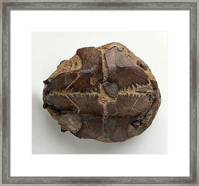 Fossilised Marine Turtle Framed Print by Dorling Kindersley/uig