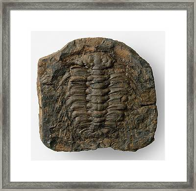 Fossilized Selenopeltis Trilobite Framed Print by Dorling Kindersley/uig