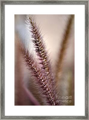 Fountain Grass Framed Print by Deb Halloran