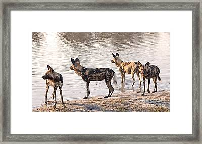 Framed Print featuring the photograph Four Alert African Wild Dogs by Liz Leyden