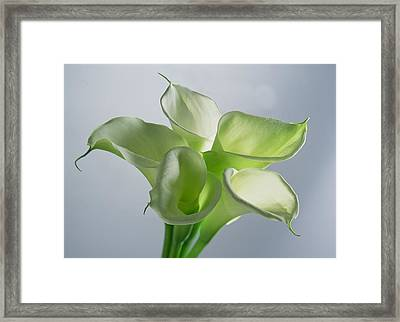 Four Arum Lilies Framed Print by Norman Hollands