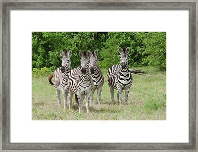 Four Burchell's Zebras On Alert Framed Print by Jan and Stoney Edwards