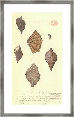 Four Different Molluscs Framed Print by Natural History Museum, London