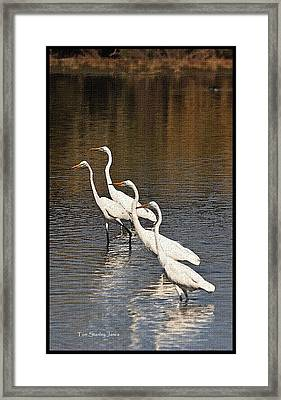 Framed Print featuring the photograph Four Egrets Fishing by Tom Janca