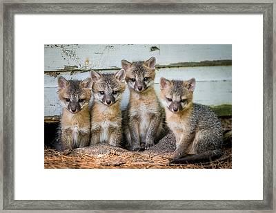 Four Fox Kits Framed Print by Paul Freidlund
