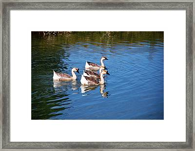 Four Geese A Swimming Framed Print by Linda Segerson