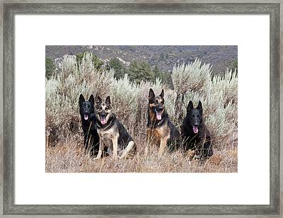 Four German Shepherds Sitting Framed Print