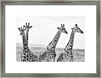 Four Giraffes Framed Print by Adam Romanowicz