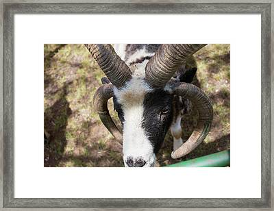 Four-horned Jacob Sheep Framed Print
