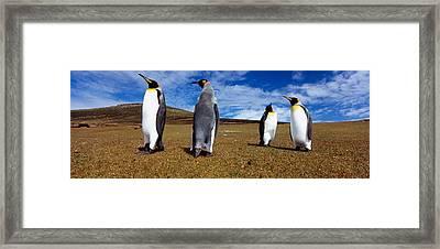 Four King Penguins Standing Framed Print