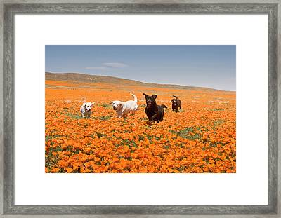 Four Labrador Retrievers Running Framed Print by Zandria Muench Beraldo