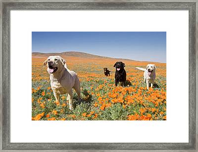 Four Labrador Retrievers Standing Framed Print by Zandria Muench Beraldo