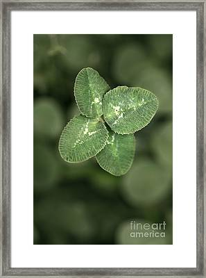 Four Leaf Clover Macro Framed Print by Brandon Alms