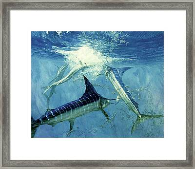 Four Leaping Striped Marlin And Pacific Framed Print by Stanley Meltzoff / Silverfish Press