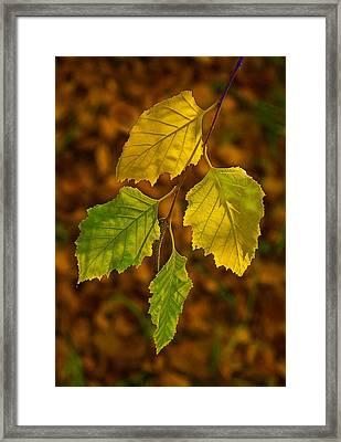 Four Leaves In Light Framed Print by Viktor Savchenko