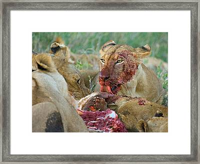 Four Lioness Eating A Kill, Ngorongoro Framed Print